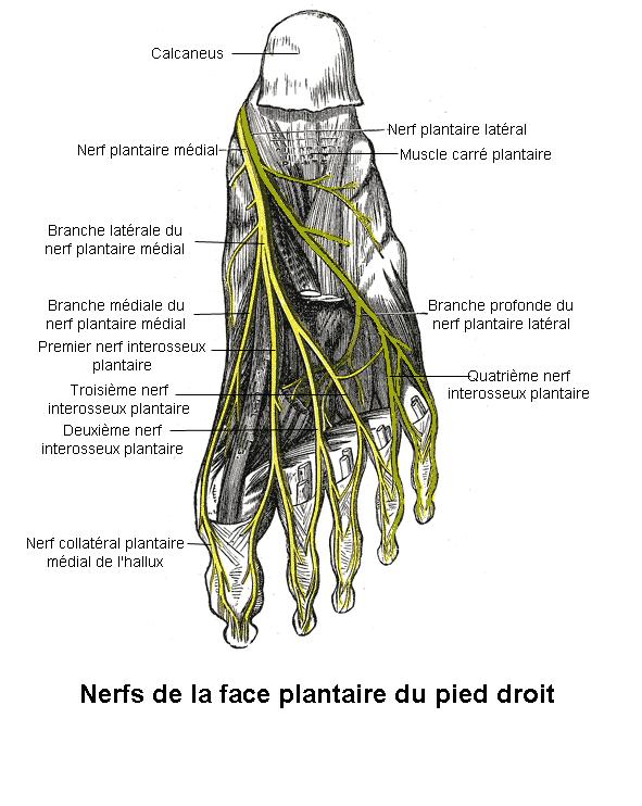 N vrome de morton wikip dia for Douleur interieur du pied