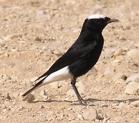 Rare Species Of Birds White-crowned wheatear...