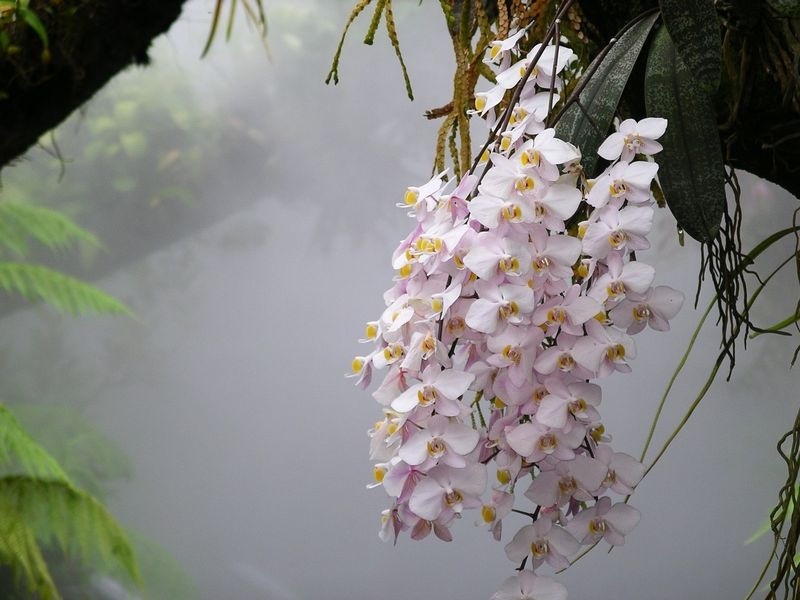 Arquivo: Phalaenopsis philippinensis NationalOrchidGarden-Singapore.jpg