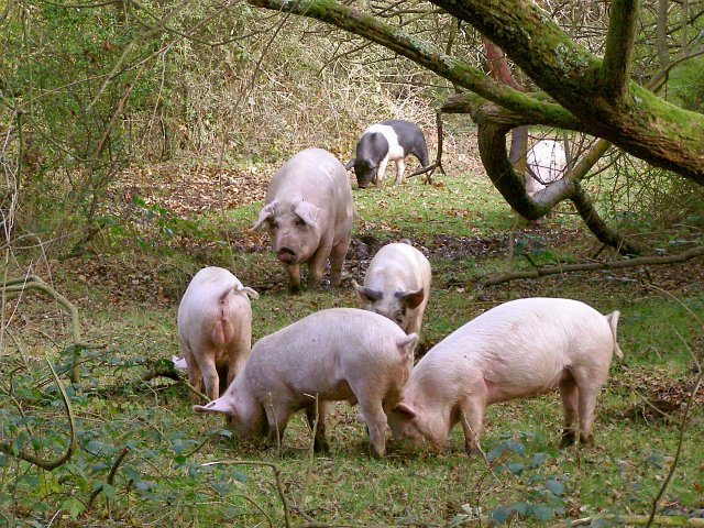Pig and piglets in woodland alongside Ober Water, New Forest - geograph.org.uk - 277678