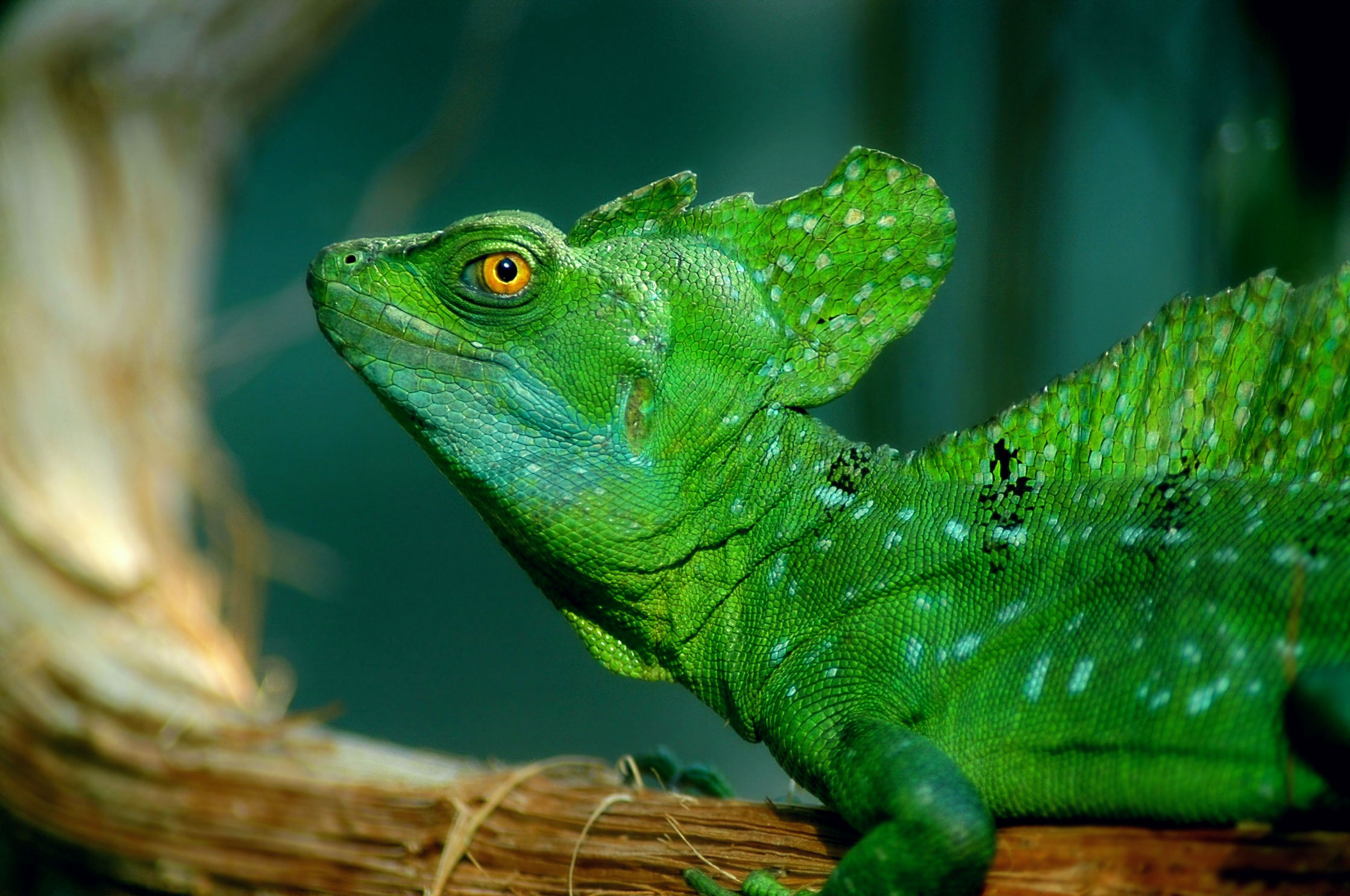 Animal Planet: Green Basilisk Lizard