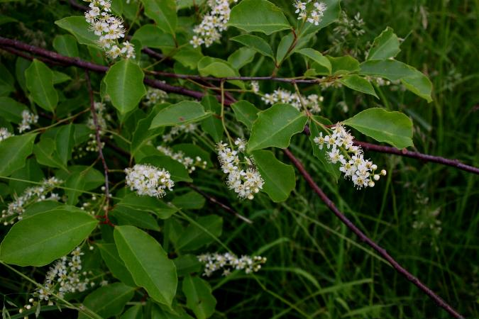 Čremcha neskorá - kvety