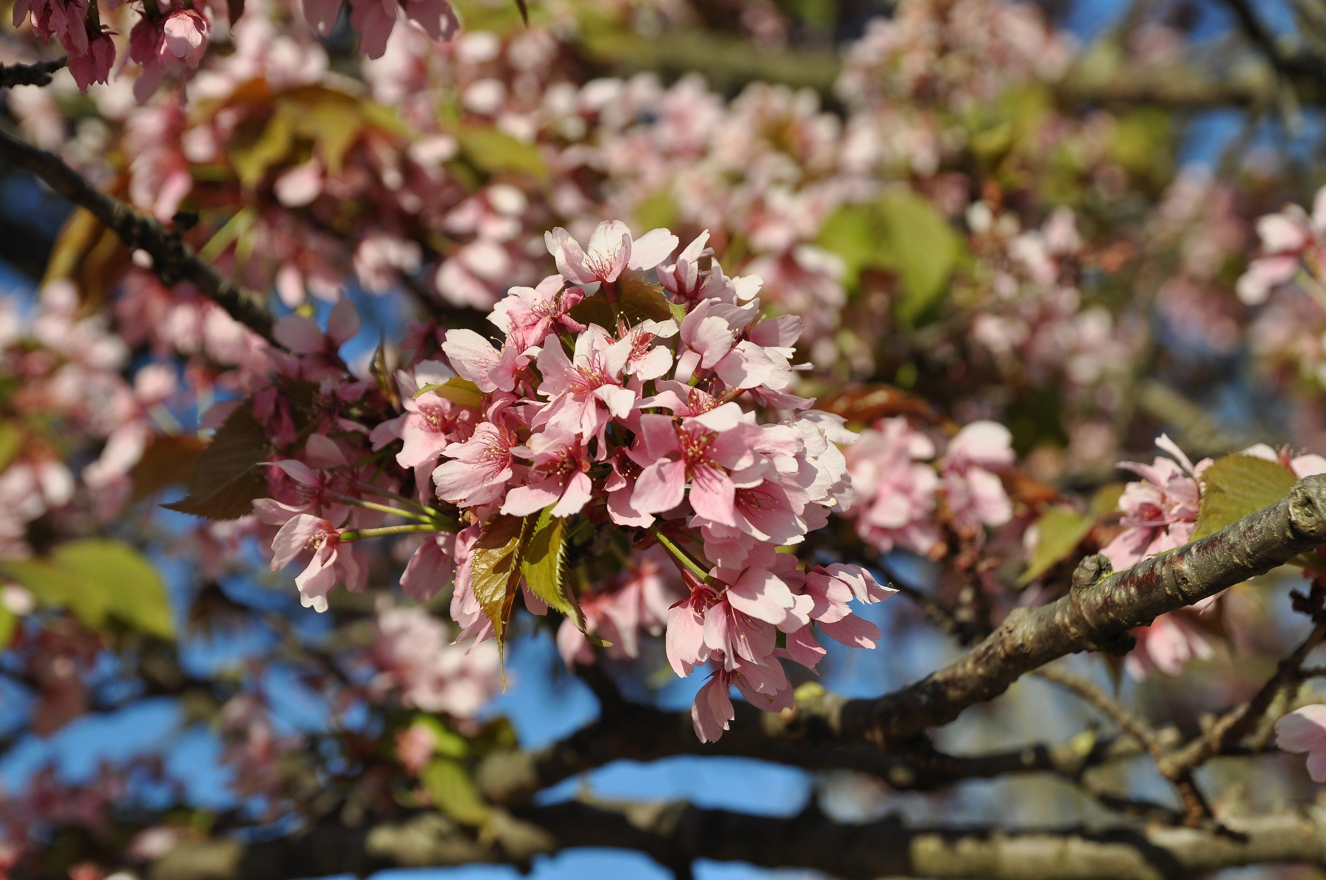 Hauteur Cerisier Du Japon prunus serrulata - wikiwand