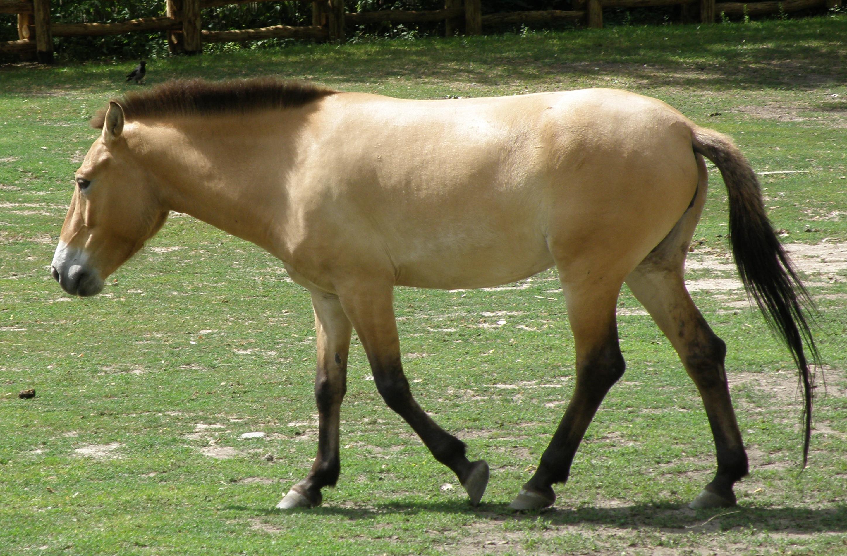 Przewalski Pferd Reiten Przewalski-pferd im Sommerfell