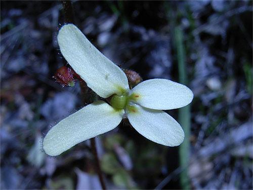 Stylidium Hispidum Wikipedia