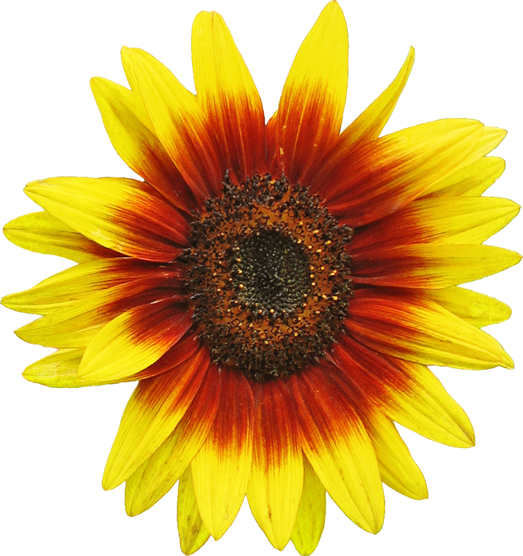 file sunflower d1 png wikimedia commons sunflower clip art free sunflower clip art background