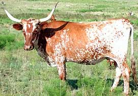 Texas Longhorns are a US breed Texas Longhorn.jpg