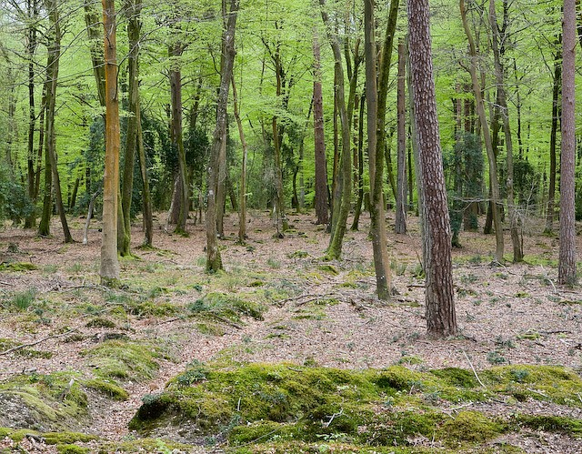 Trees in Shave Green inclosure%2C New Forest   geograph.org.uk   786758