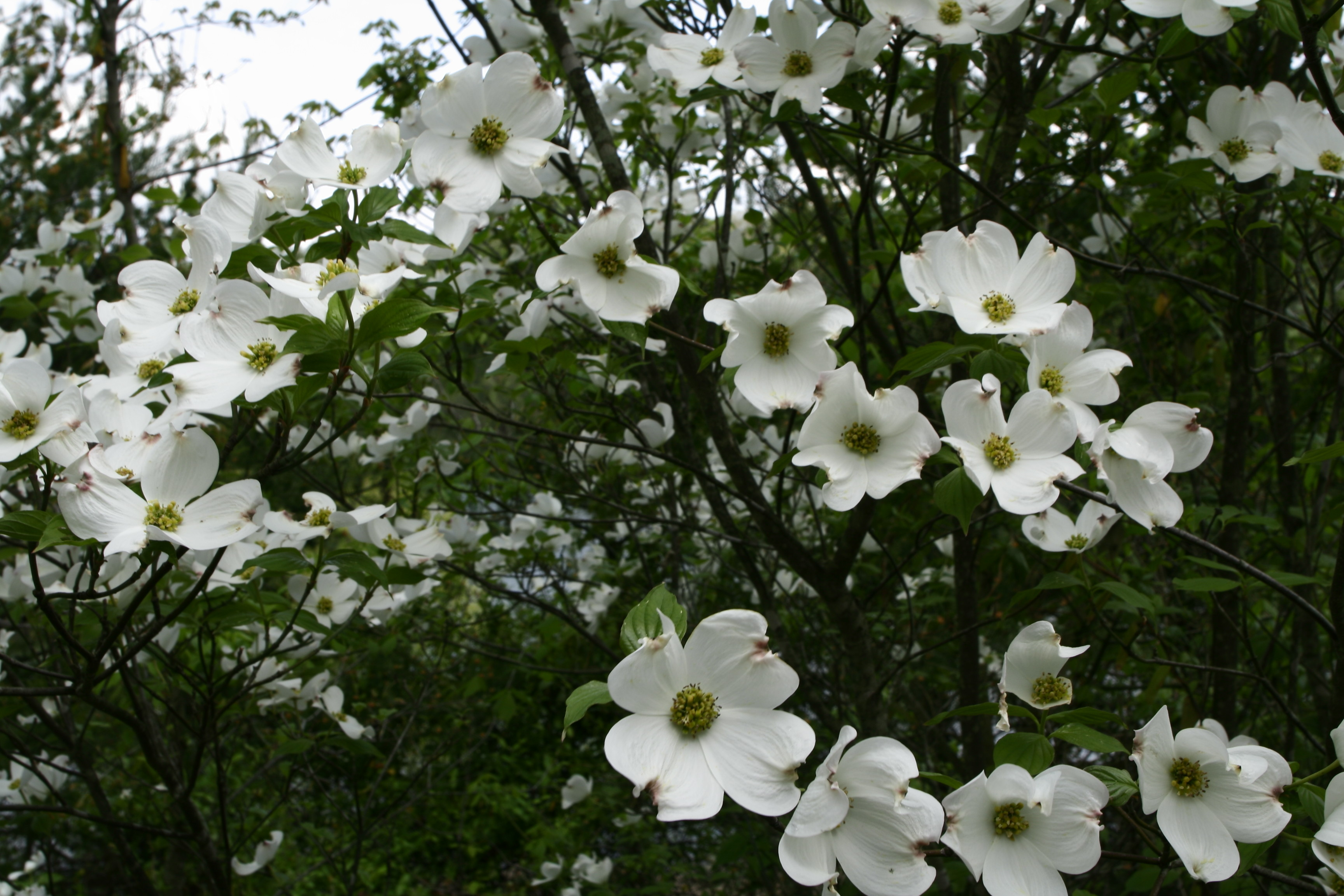 Images Of White Flowers With Names Murraya Exotica By The Gardening