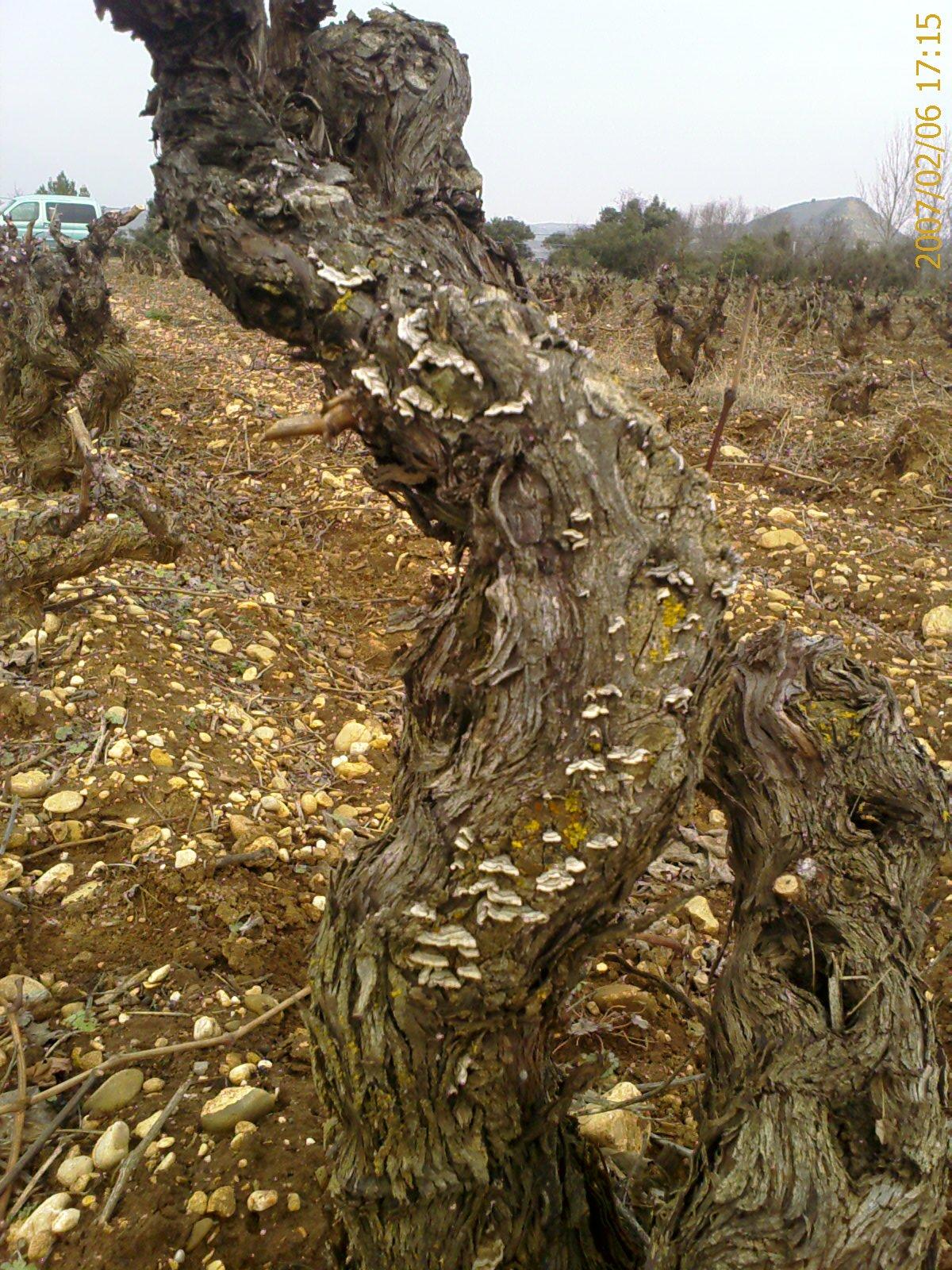 Enfermedades de madera de la vid wikipedia la for Como tratar la madera