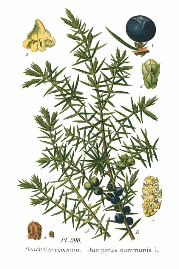 Genévrier ou Juniperus communis L. - Illustration du botaniste Amédée Masclef