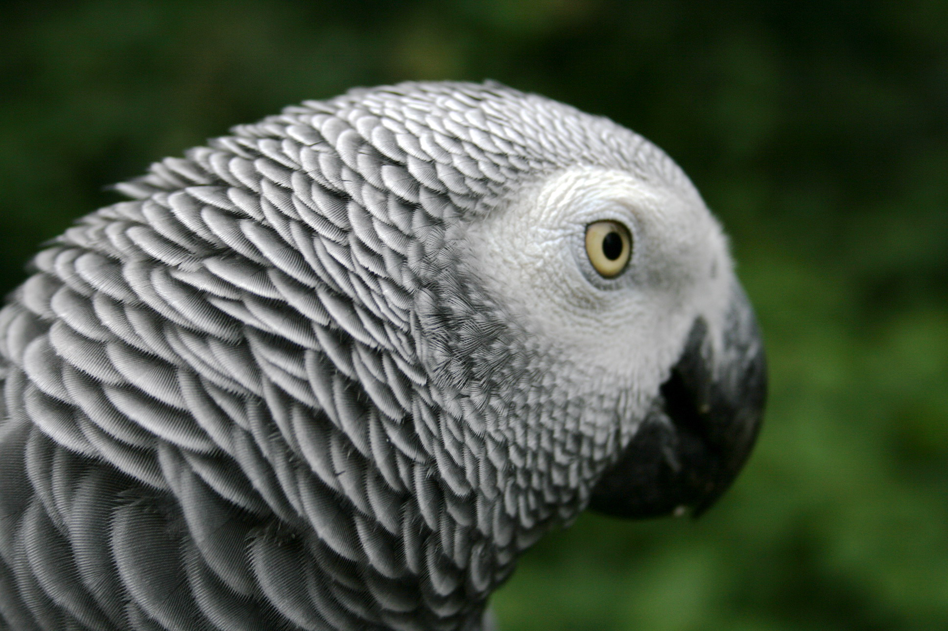 african grey parrot - photo #14