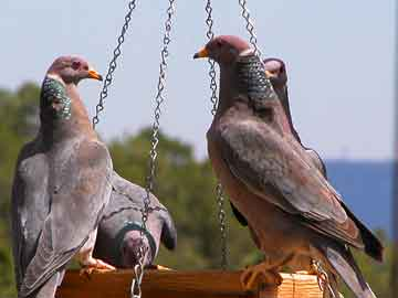 Payl:Band-tailed Pigeons.jpg