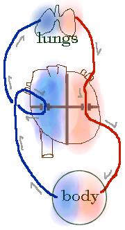væske omkring hjertet