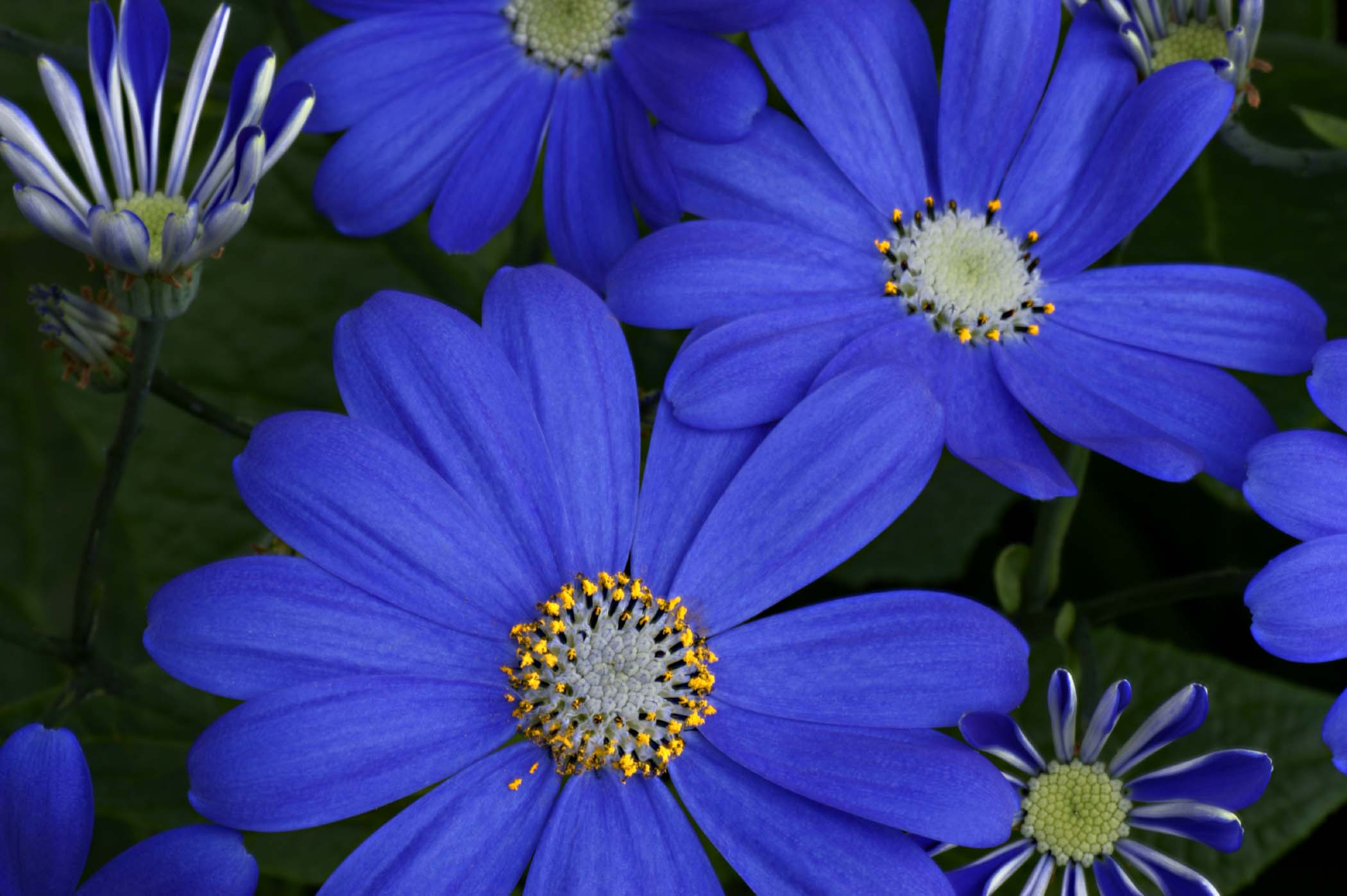 Fileblue Daisy Flower 1g Wikimedia Commons