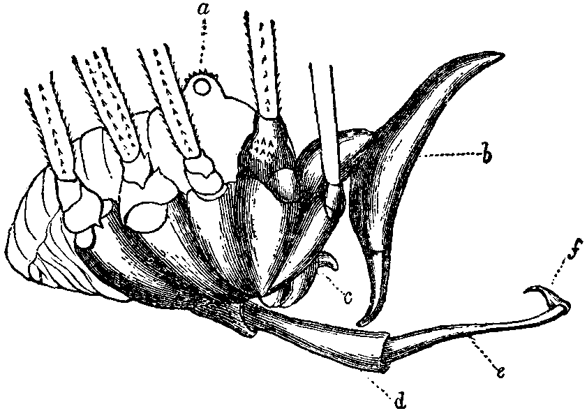 Opiliones Penis Wikipedia