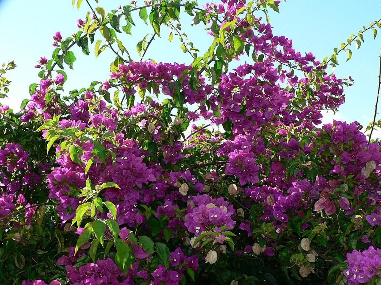 Shrubs with purple flowers pictures - File Bush With Purple Flowers Jpg