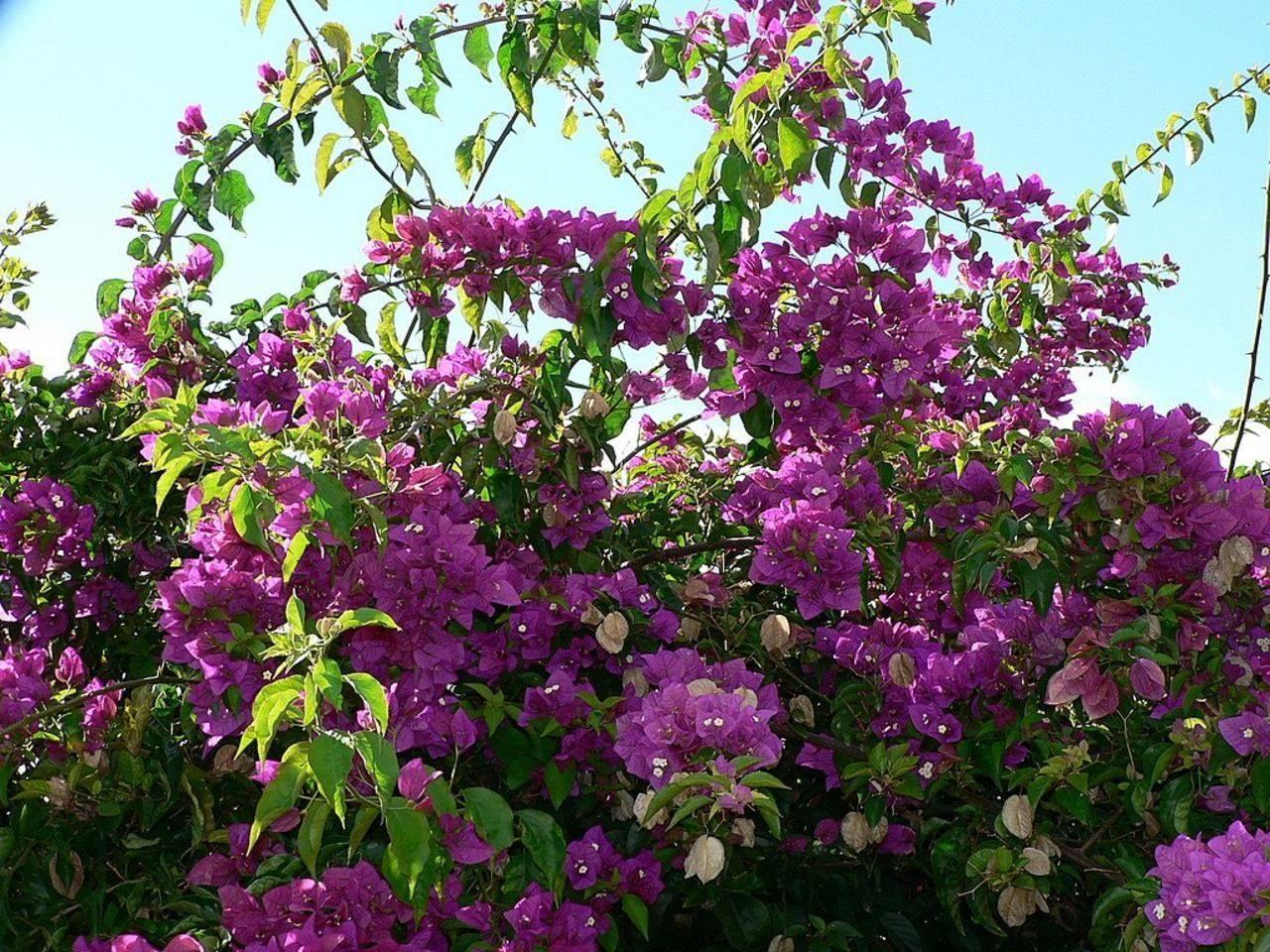 File Bush with purple flowers