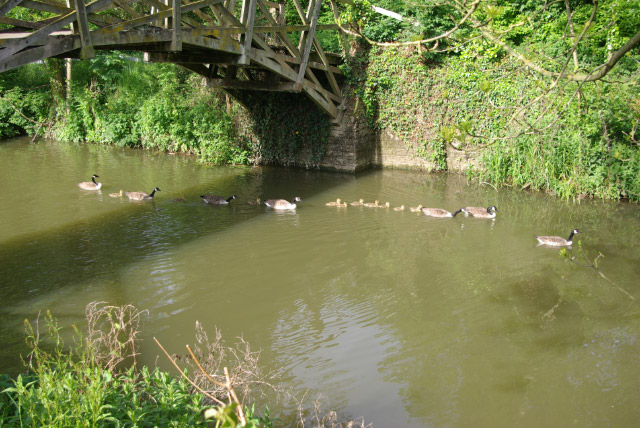 Canada Geese and Goslings, Iffley Lock - geograph.org.uk - 439820