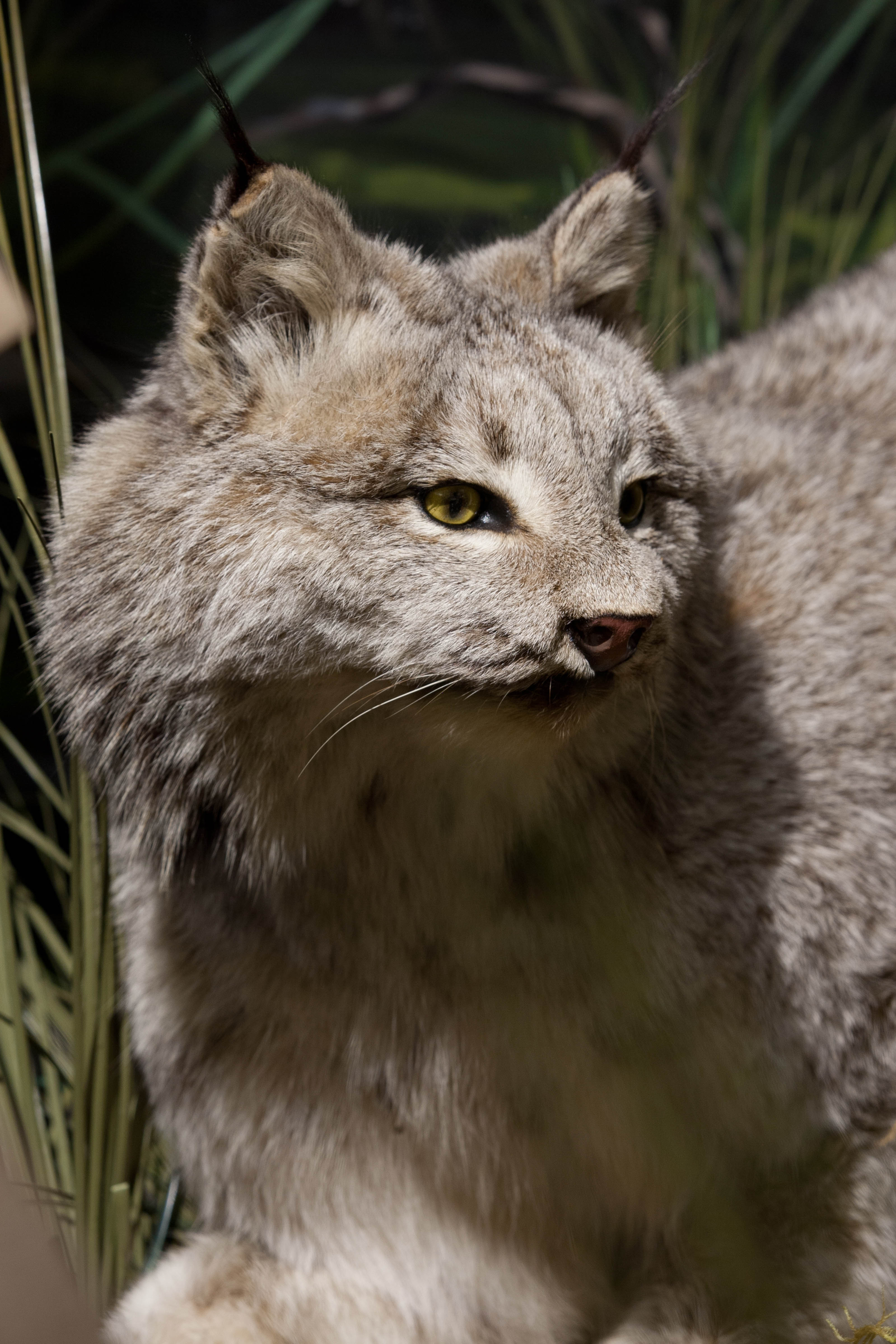 Lynx Exhibit Natural History Museum
