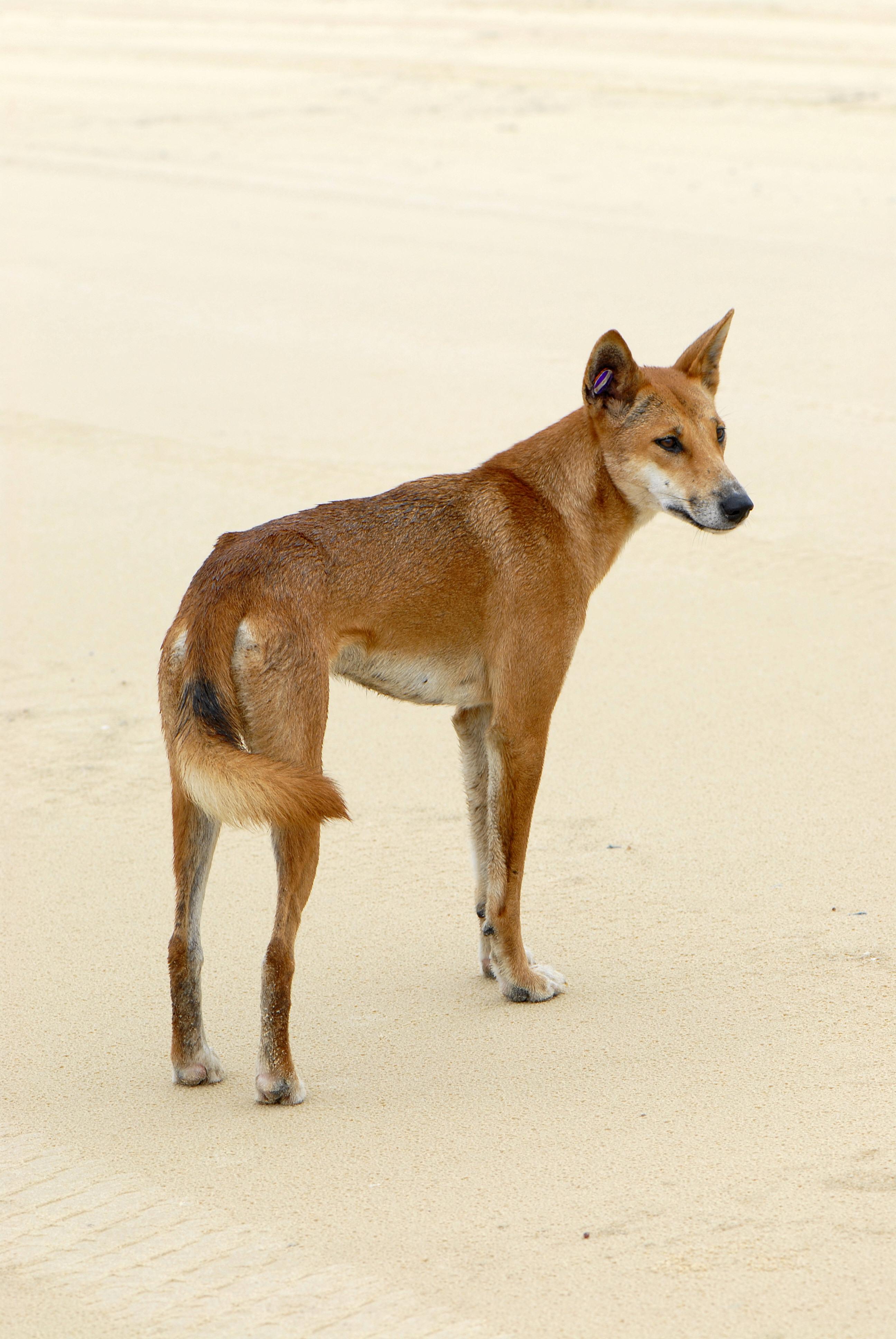 datei canis lupus dingo jpg  u2013 wikipedia
