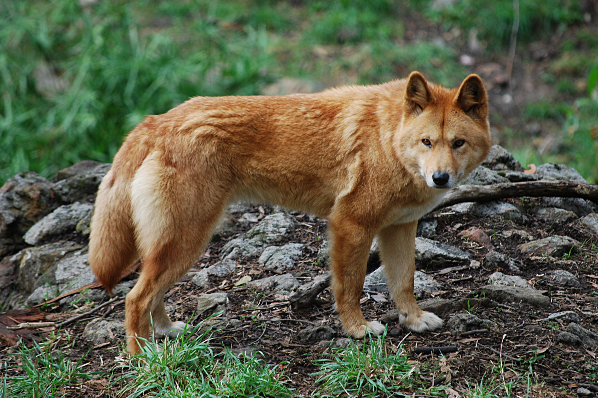 Dingo From a Wildlife Park
