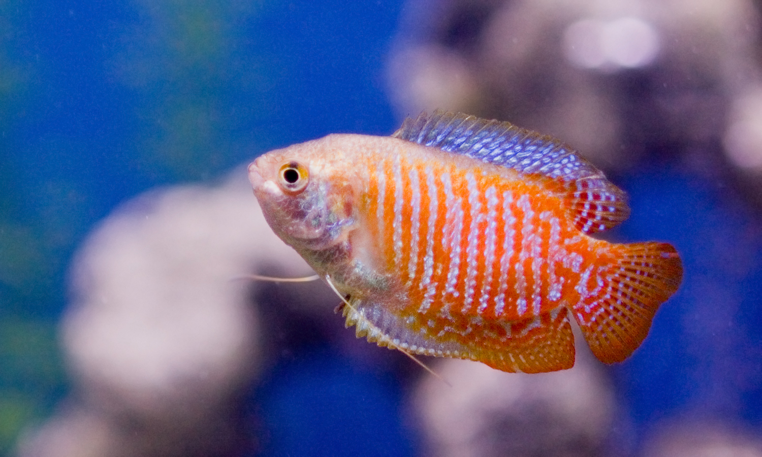 Dwarf And Pearl Gouramis Anabantoids Of Beauty My