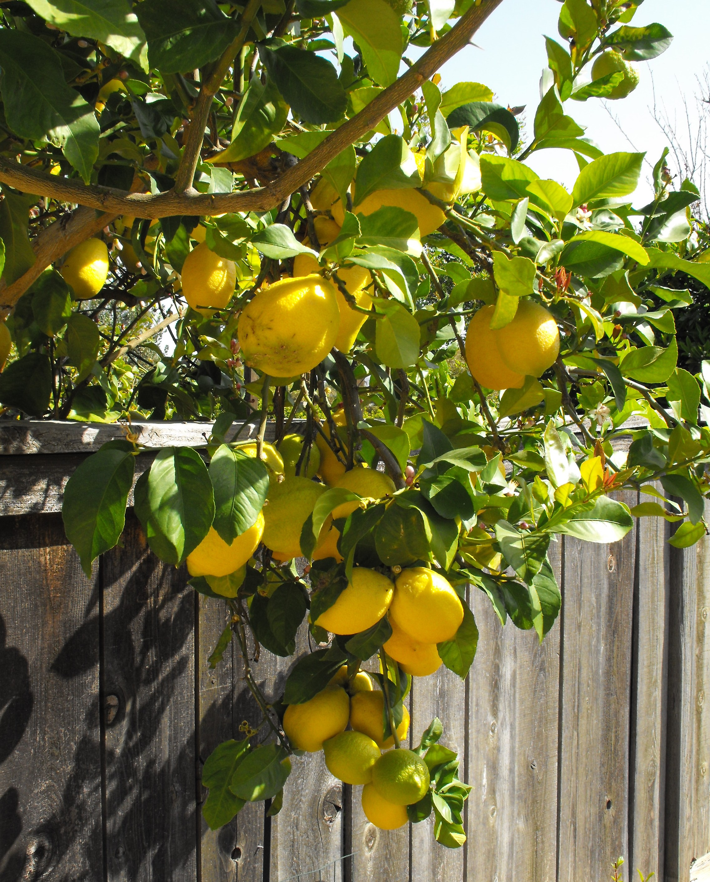 File:Eureka-lemon.jpg