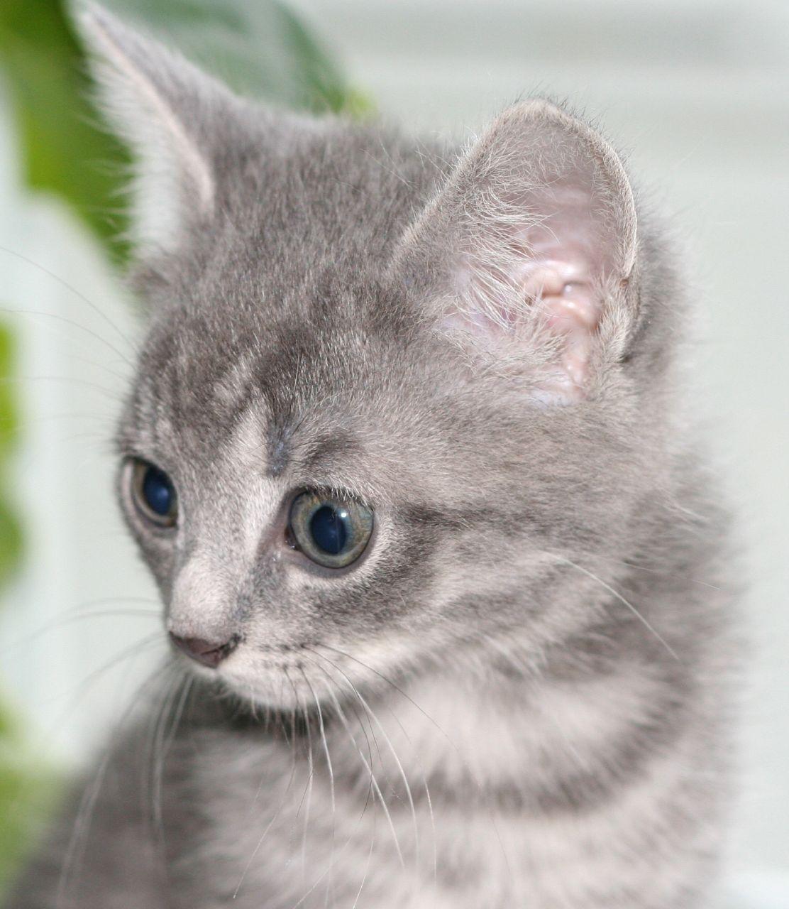silver gray cat