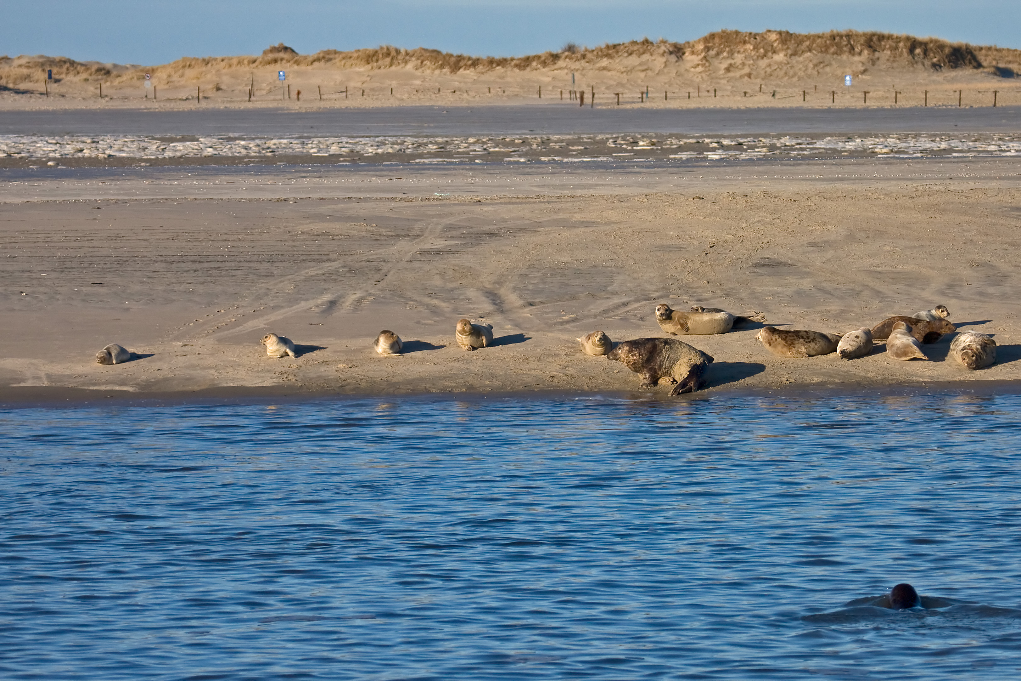 Datei grey seal norderney jpg wikipedia