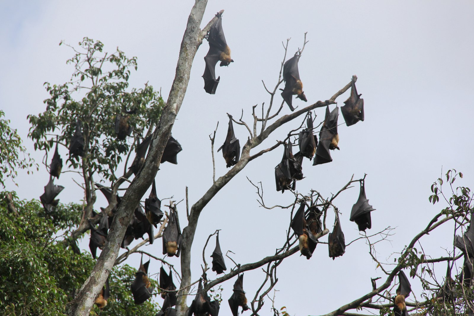 File group flying dogs hanging in tree sri lanka jpg for Hanging groups of pictures