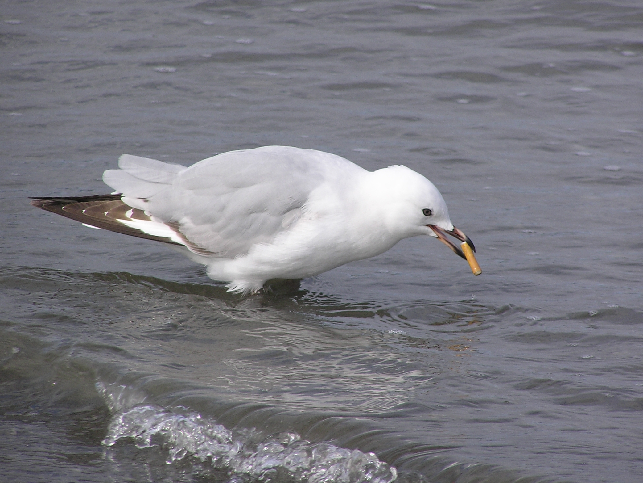 Red billed gull with cigarette butt