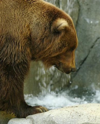 Bestand:Lightmatter Alaskan brownbear3.jpg
