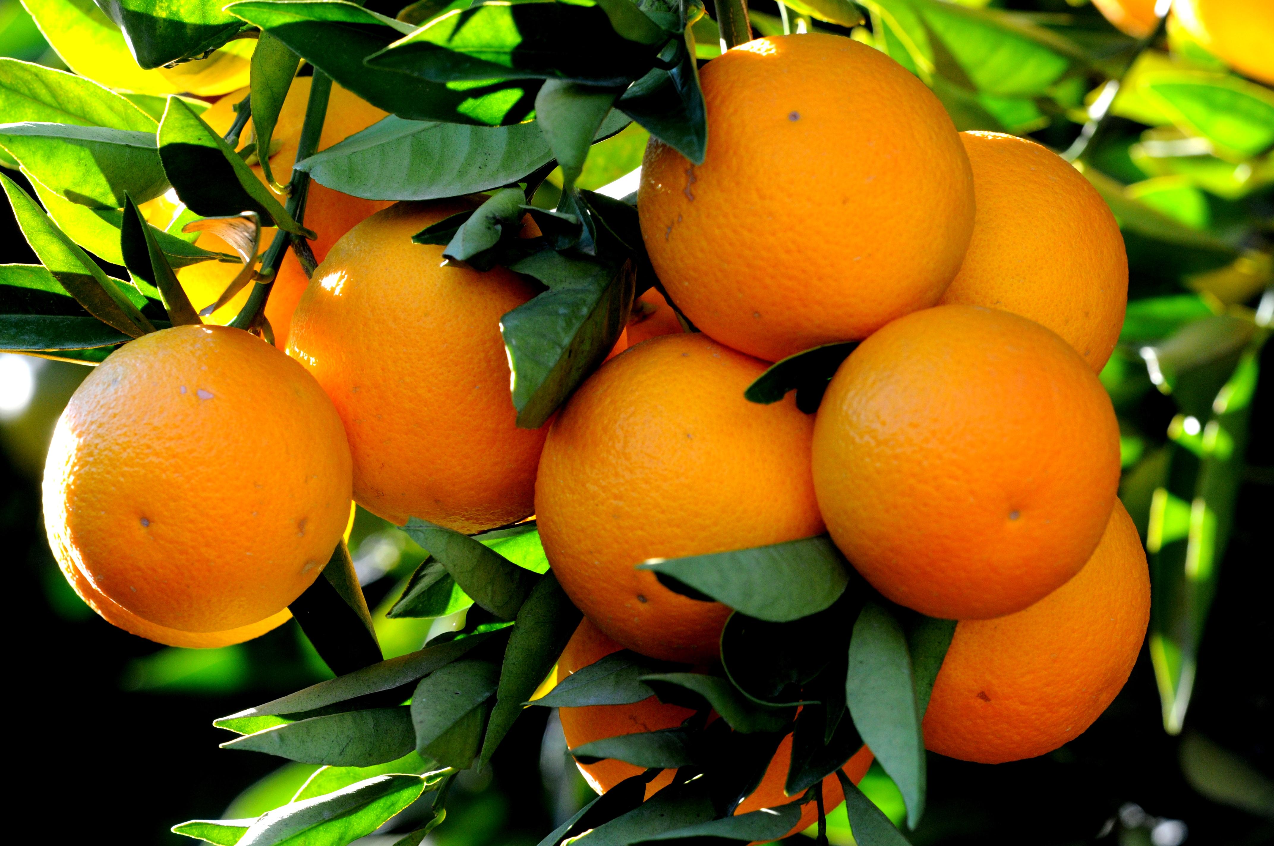 """Résultat de recherche d'images pour """"orange fruit"""""""
