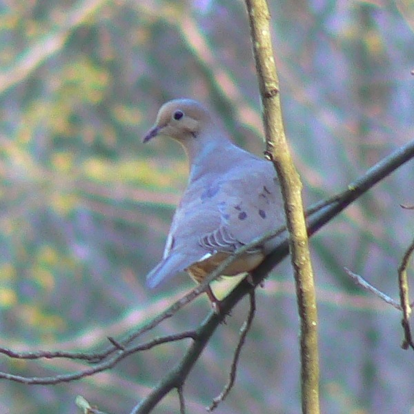 File:Mourning Dove Perched.JPG