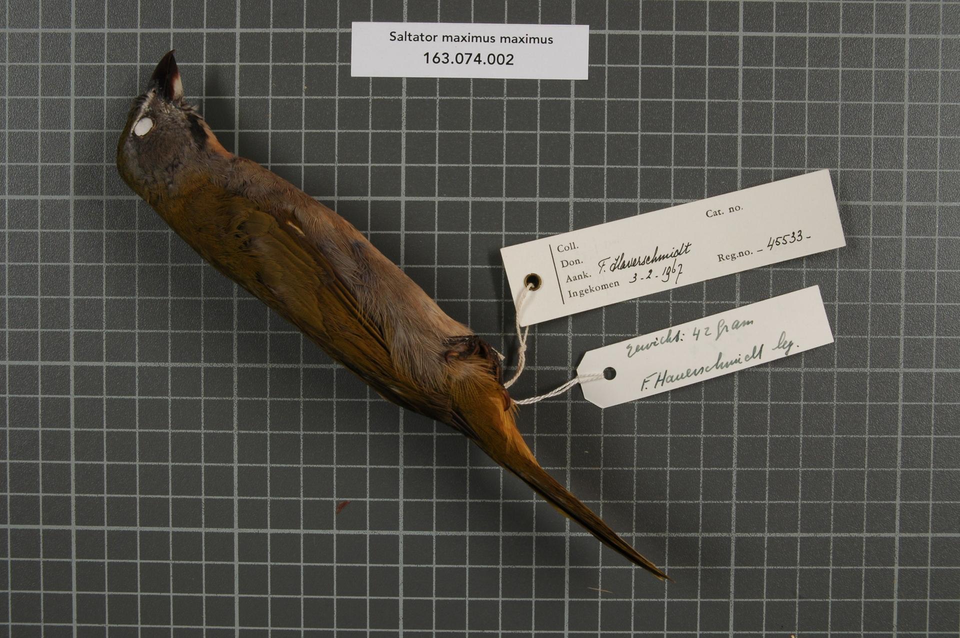 Naturalis_Biodiversity_Center_-_RMNH.AVES.45533_1_-_Saltator_maximus_maximus_%28P.L.S._Muller%2C_1776%29_-_Emberizidae_-_bird_skin_specimen.jpeg