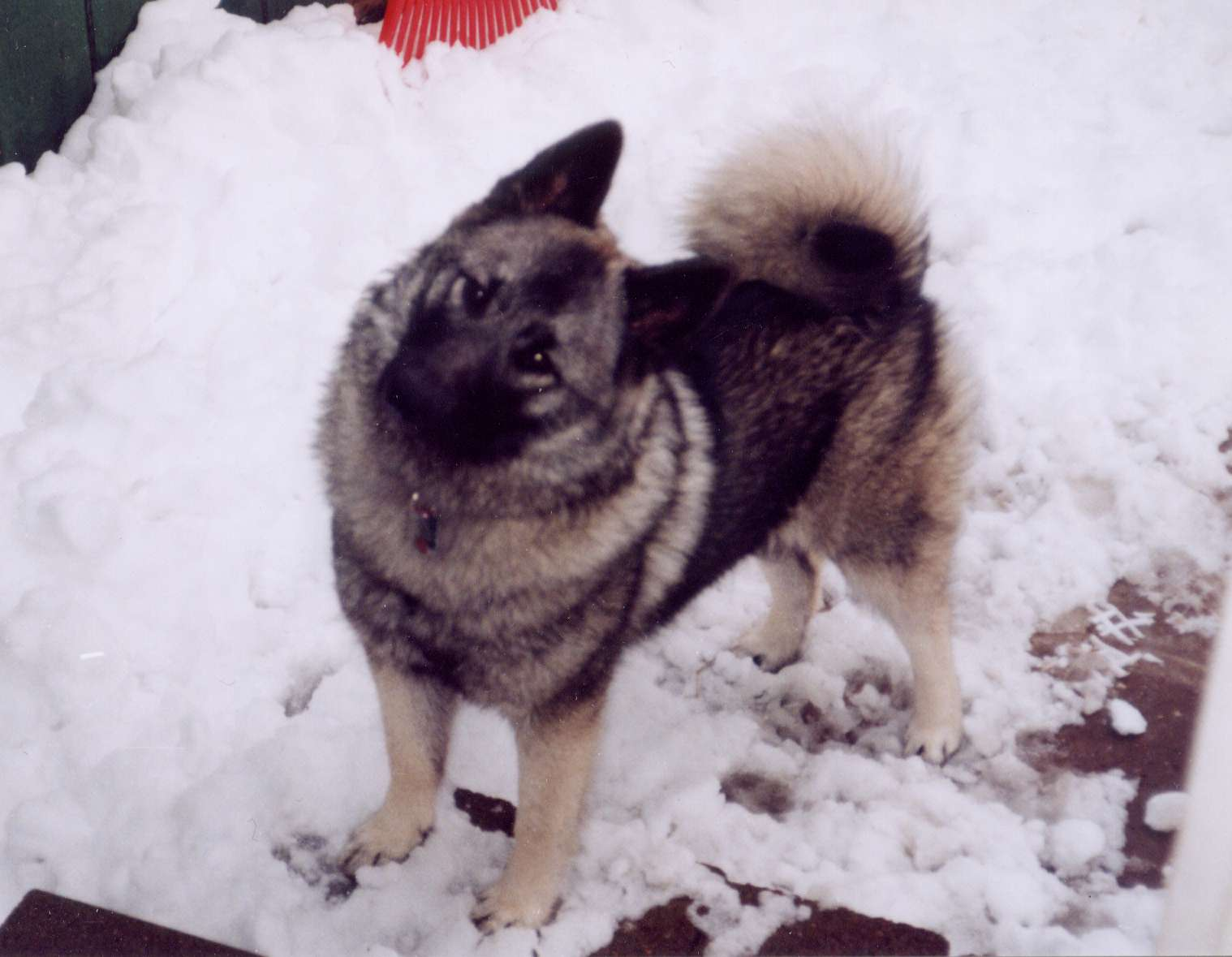 ファイル norwegian elkhound female2 jpg wikipedia