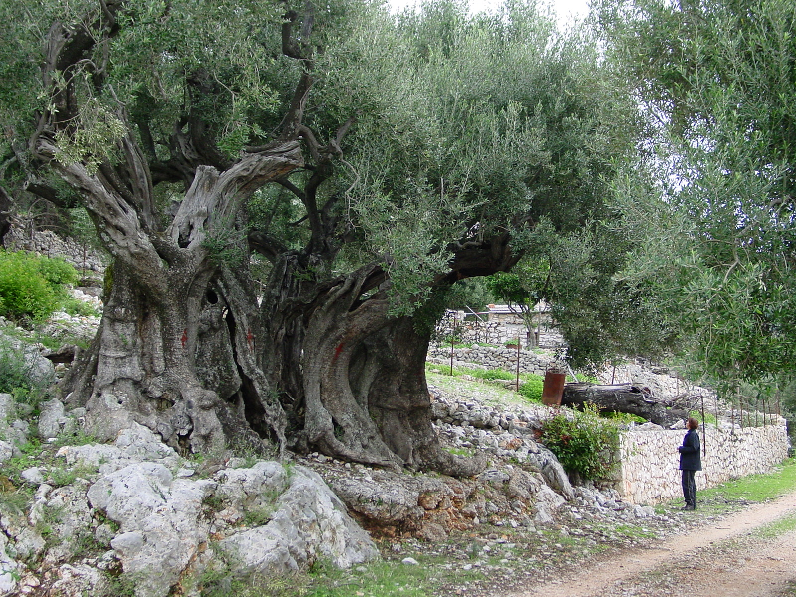 File Olivetree Wikimedia Commons