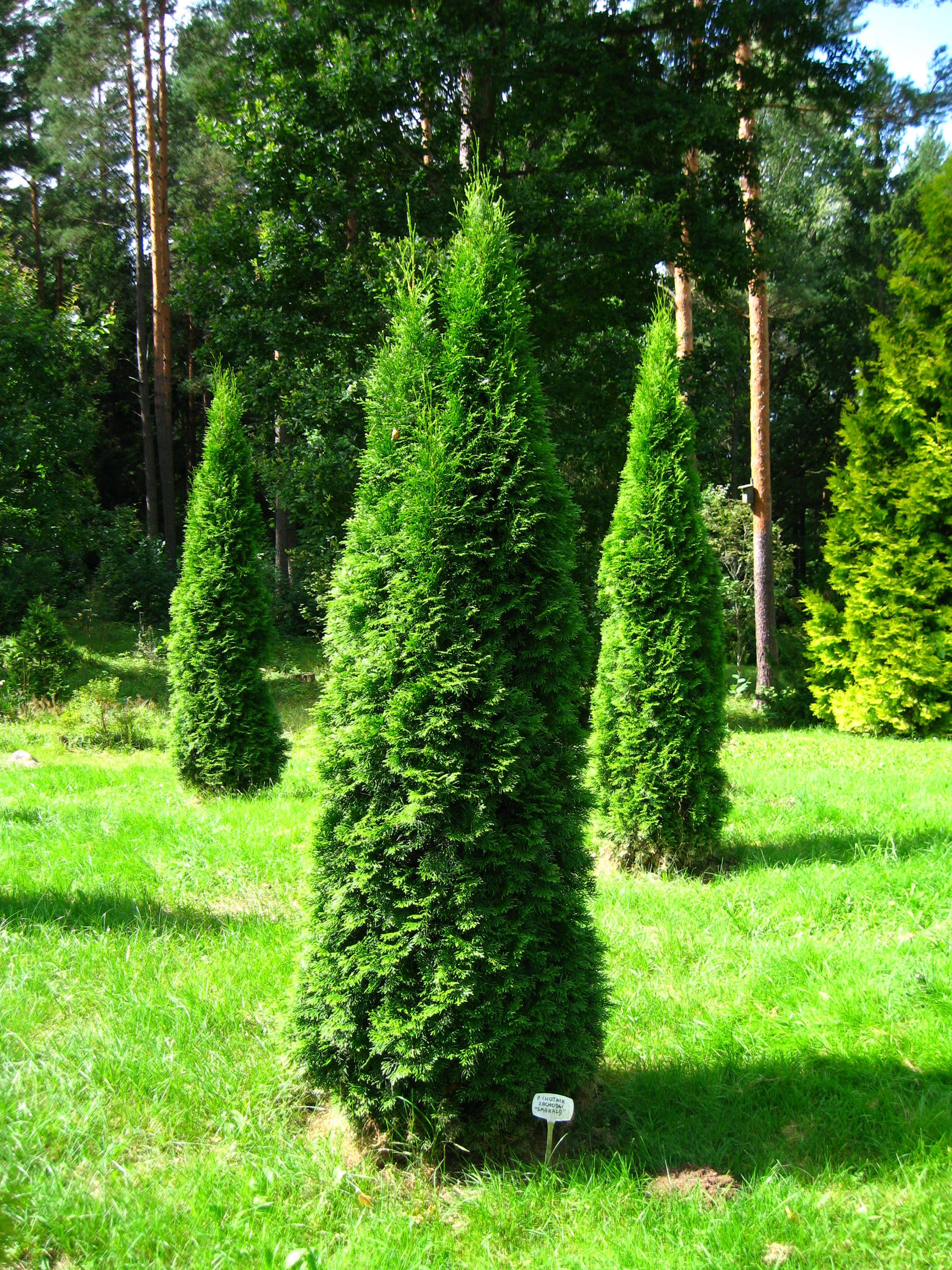 file podlaskie suprasl kopna gora arboretum thuja occidentalis 39 smaragd 39 plant jpg. Black Bedroom Furniture Sets. Home Design Ideas