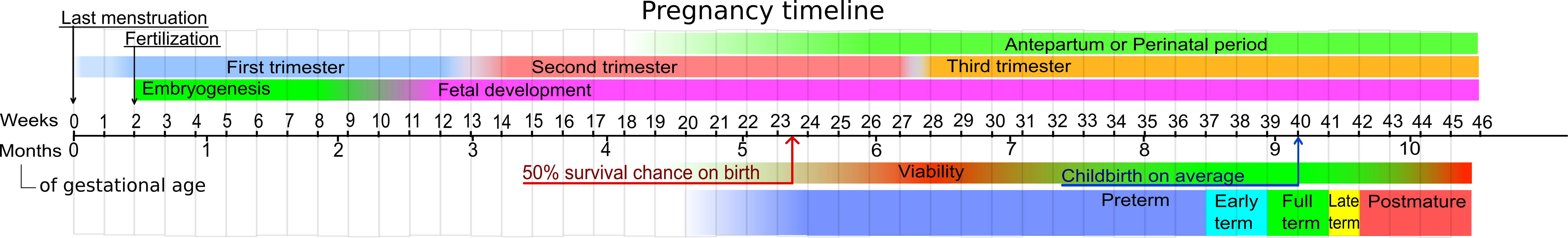 pregnancy calendar - [[:template:adoption wiki]]