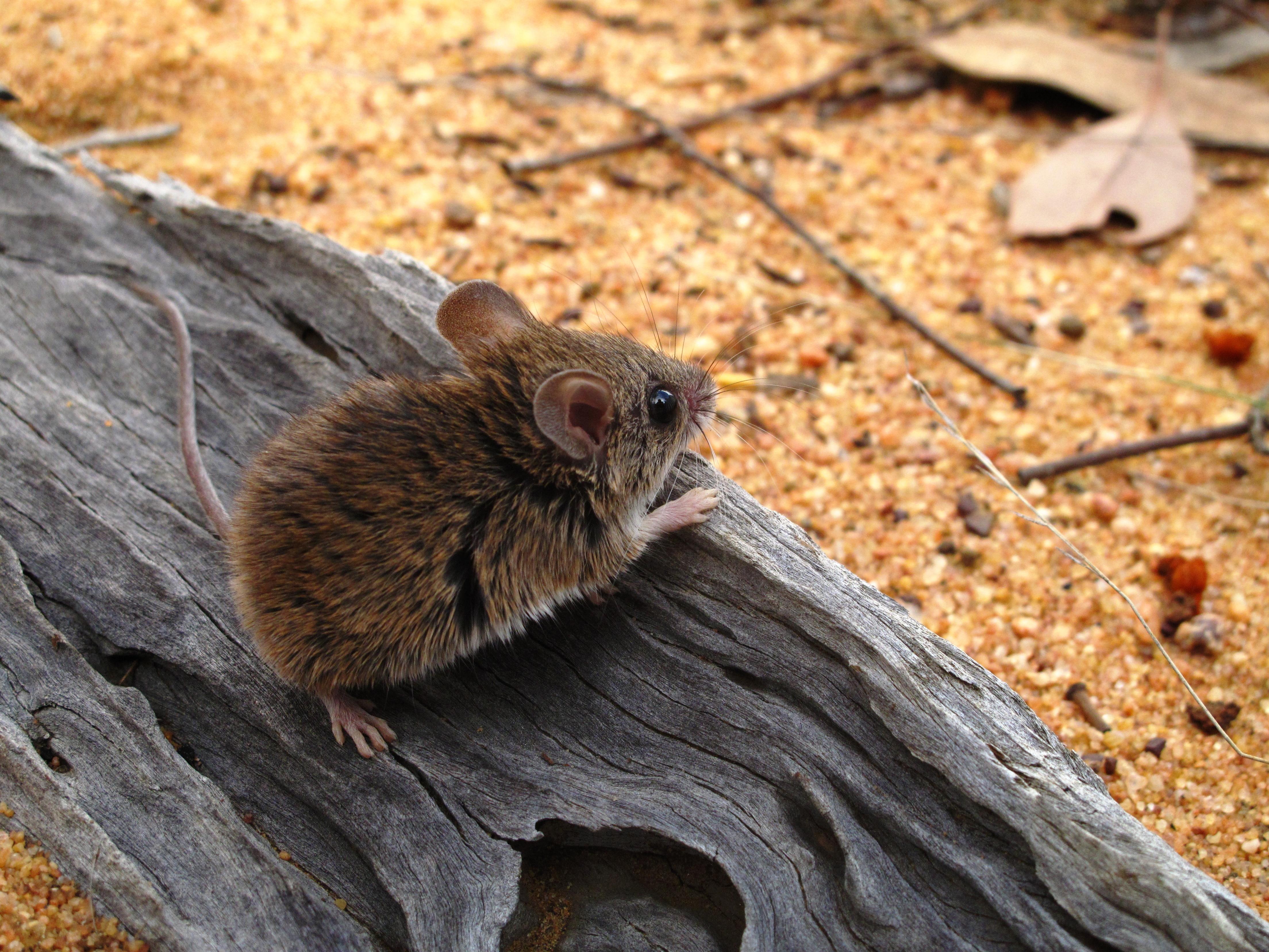 https://upload.wikimedia.org/wikipedia/commons/1/1f/Pseudomys_pilligaensis_-Pilliga_Forest%2C_New_South_Wales%2C_Australia-8.jpg