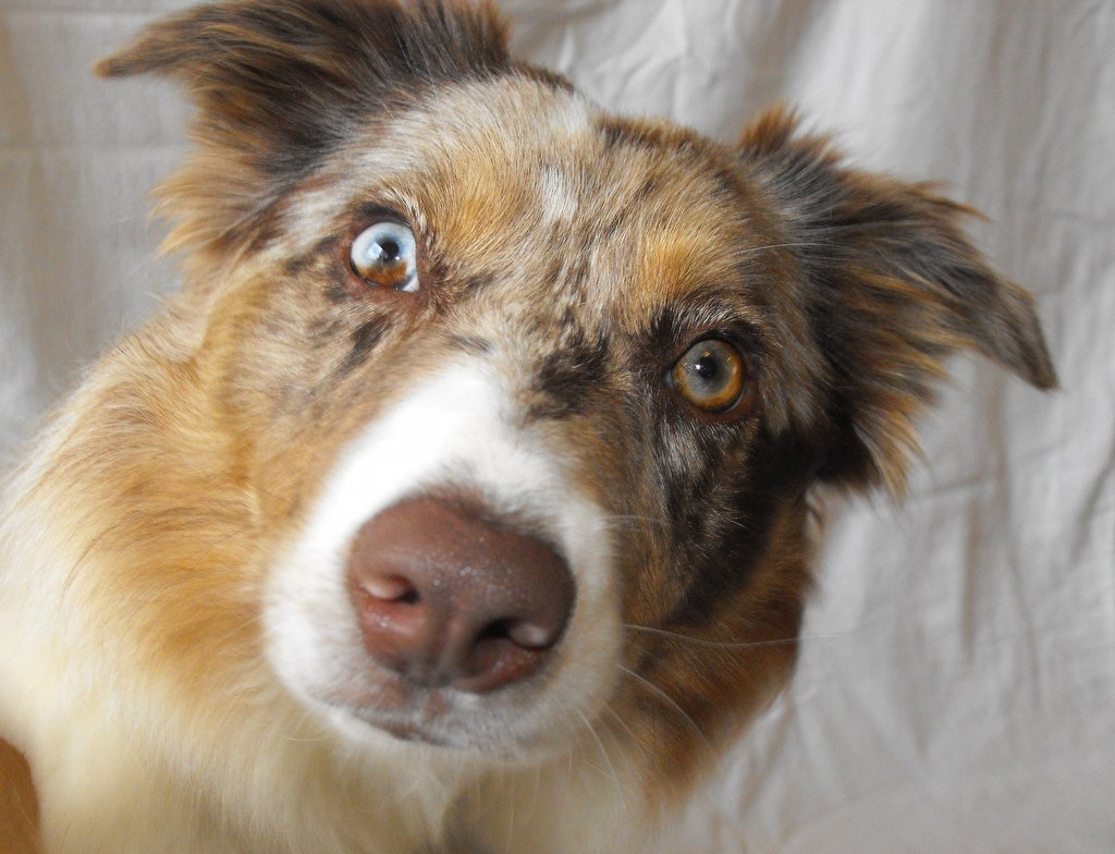 File:Red merle border collie with double heterochromia.JPG