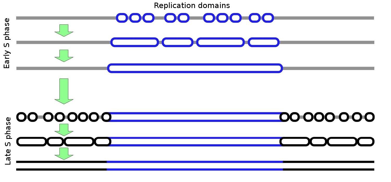 replication timing - wikiwand