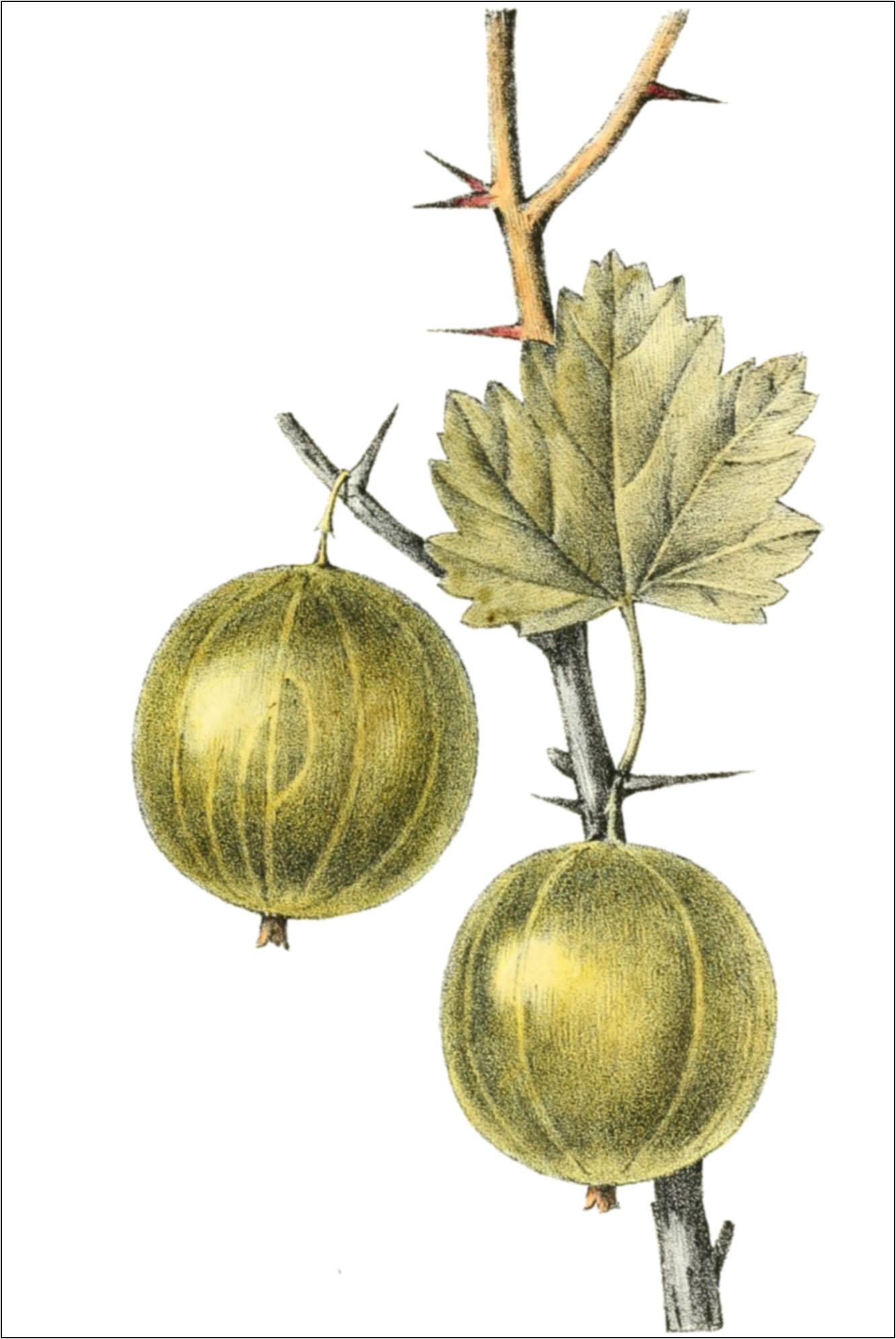 fichier ribes uva crispa var virescens thory fig11 jpg wikisource. Black Bedroom Furniture Sets. Home Design Ideas