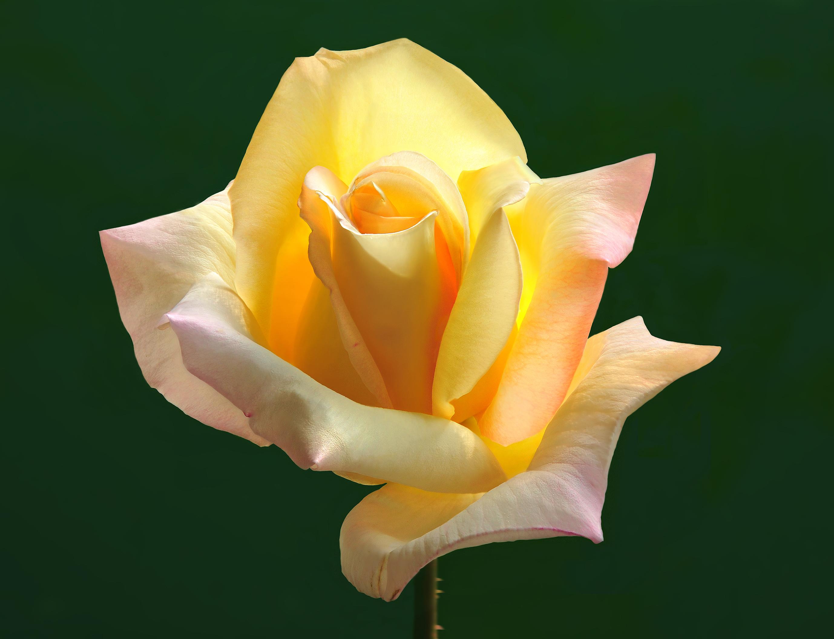 """""""Gloria Dei"""" rózsa"""