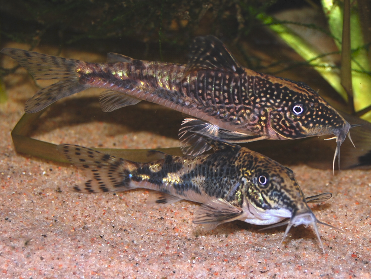Banded corydoras for Cory cat fish