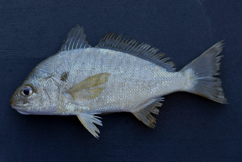 5 Best Rockfish Baits 1