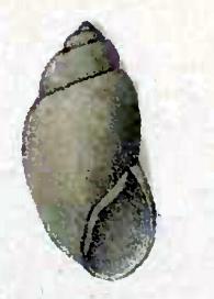 <i>Stilapex</i> genus of molluscs