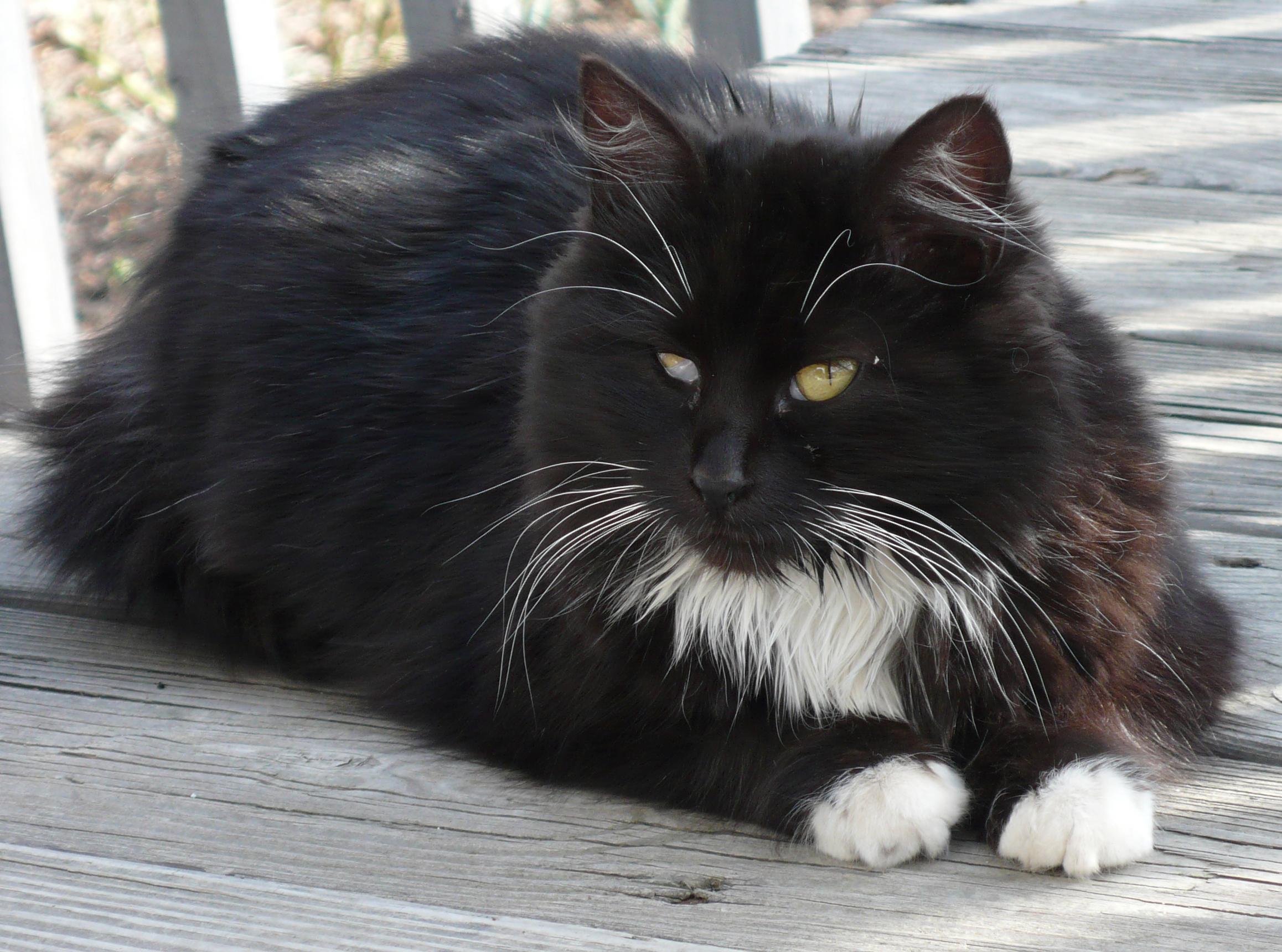 Cat For Sale Suttn