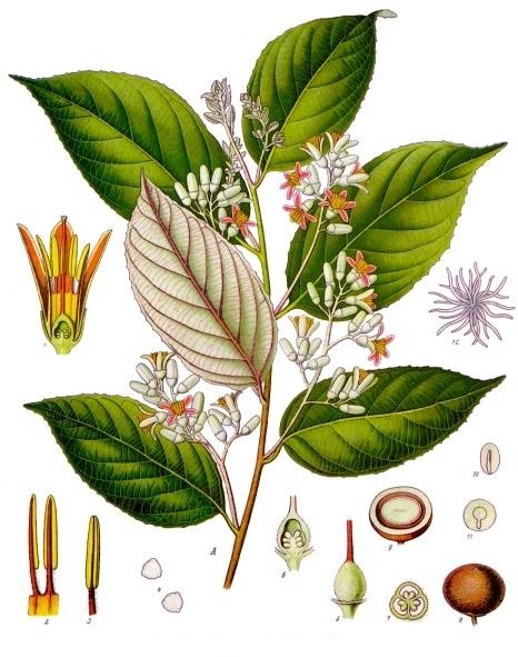 Styrax benzoin - Köhler–s Medizinal-Pflanzen-133